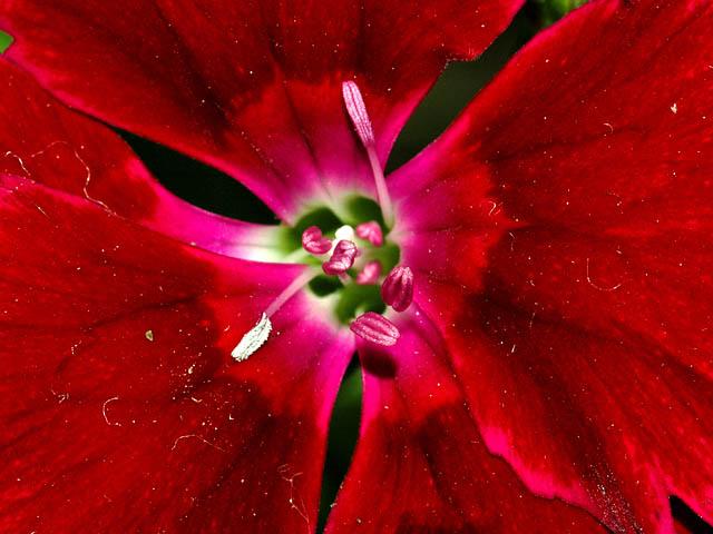 Au coeur d 39 une fleur - Fleur au coeur noir ...